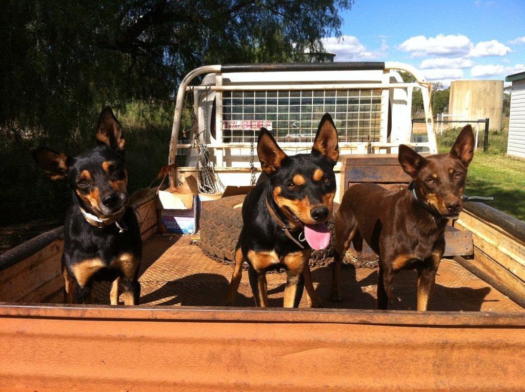 Dogs For Sale Rockingham